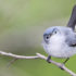 blue-gray gnatcatcher for Merlin