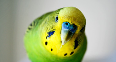 common parakeet leans toward camera