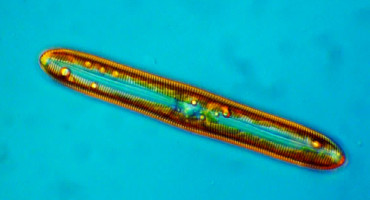 diatom in color