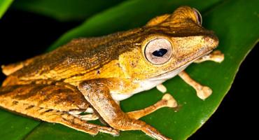 frog in borneo / malaysia