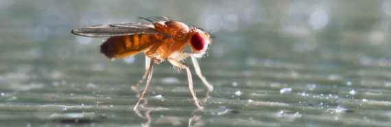 fruit fly walking