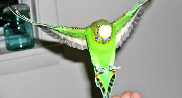 parakeets inspire aircraft