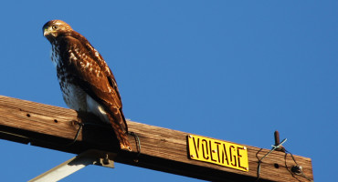 birds on power lines: red-tailed hawk