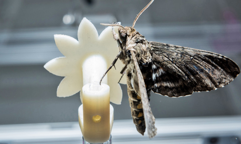 A hawkmoth clings to a robotic flower used to study the insect's ability to track the moving flower under low-light conditions. (Credit: Rob Felt/Georgia Tech)