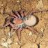 liphistiid spider