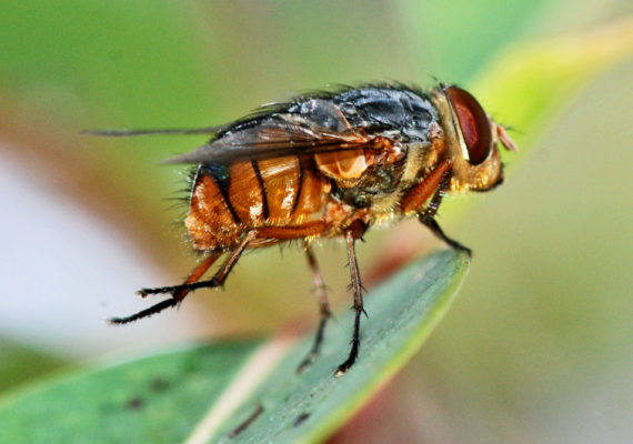 Lucilia cuprina, Australian sheep blowfly