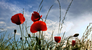 red poppies in silo
