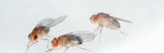 three fruit flies