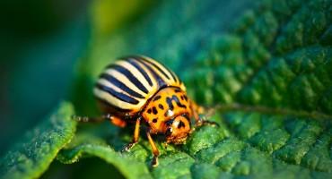 colorado potato beetle on leaf