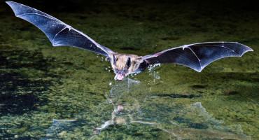 brown bat swoops over water