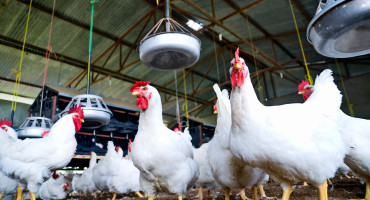chickens in barn