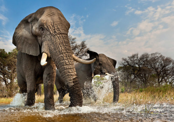 two elephants in stream