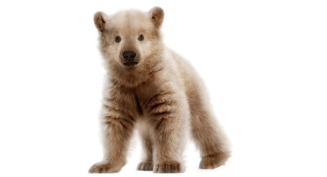 pizzlies or grolar bears - cub