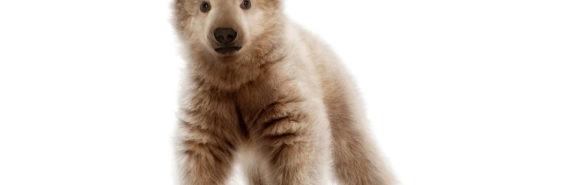 pizzlies or grolar bears - cub