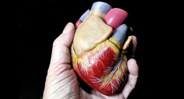 hand holding model heart