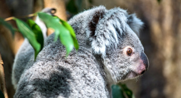 koala in profile