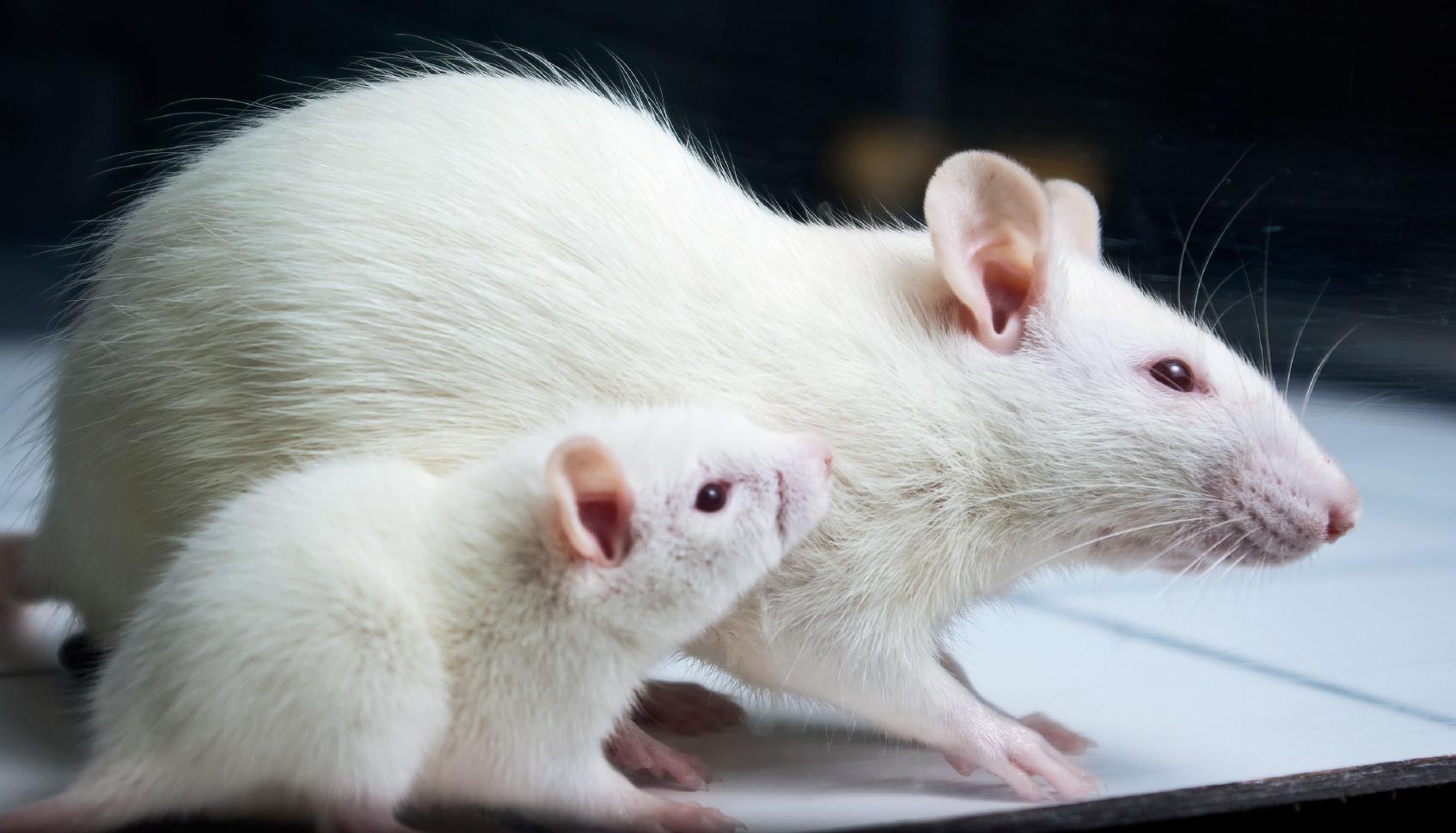 отзывы фото белого мышонка с красными глазами помню чудное