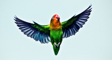 lovebird in flight