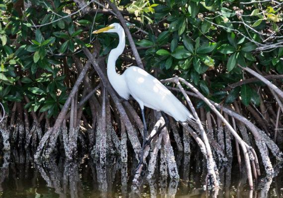 great egret in mangroves