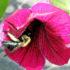 bee in magenta petunia