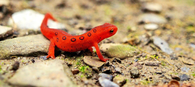 salamandar / red eft