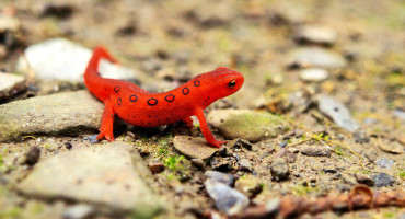 salamandar / red eft