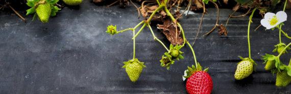strawberry plants on black