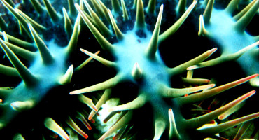 Crown of thorns starfish (Acanthaster planci)