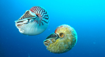 2 nautiluses