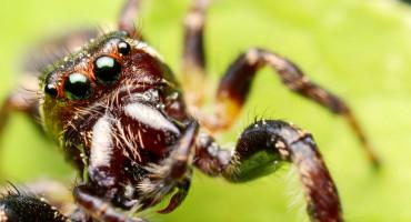 Eris militaris jumping spider