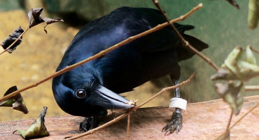 crow makes twig tool
