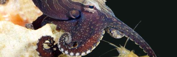 larger Pacific striped octopus traps a shrimp