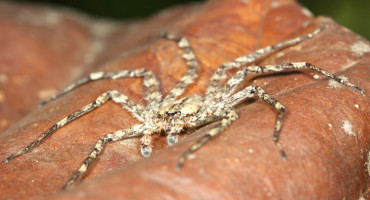 spider from the genus Selenops