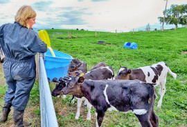 family farm calves and worker