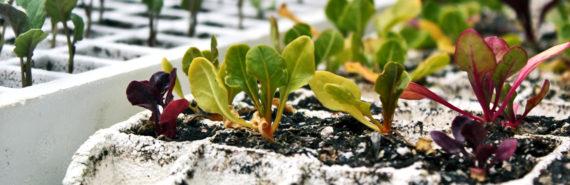 lettuce seedlings in trays