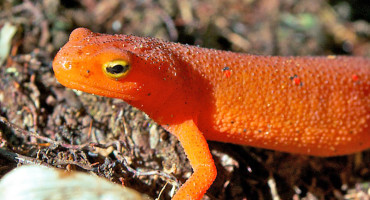 An eastern red-spotted newt (Notophthalmus viridescens)