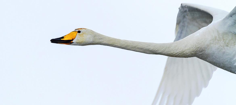 whooper crane in flight