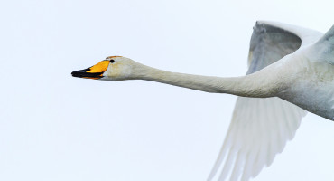 whooper crane in flight