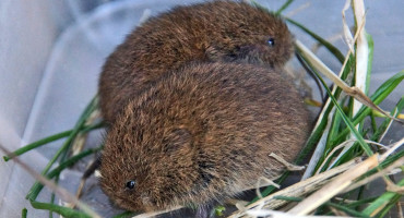 two baby voles