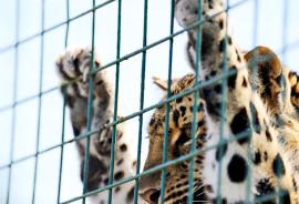 amur leopard behind fence