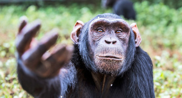 chimpanzee reaching up