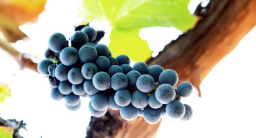 wine grapes from below