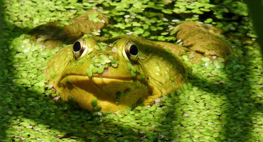 green frog in duck weed