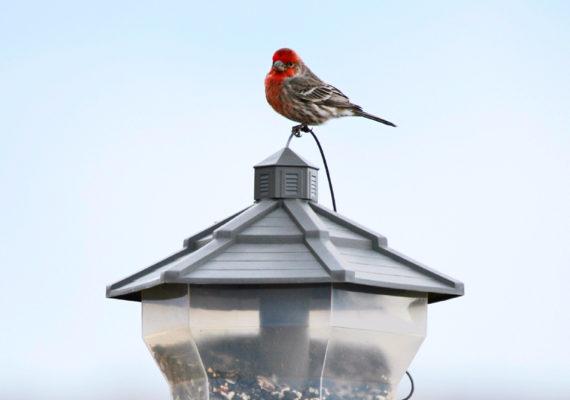 house finch on bird feeder