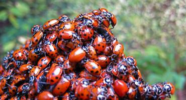 ladybug cluster