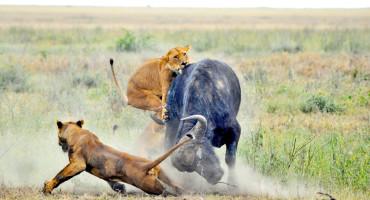 lions attack buffalo