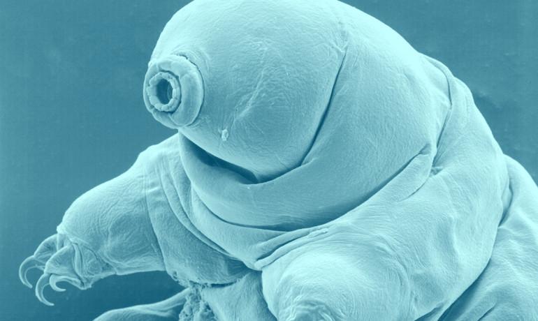 tardigrade or water bear