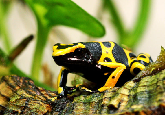 amazon species: Yellow-banded poison dart frog
