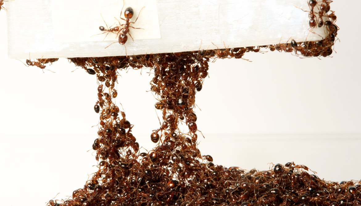 ants form a chain