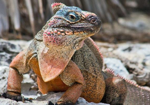 Allen Cay Rock Iguana